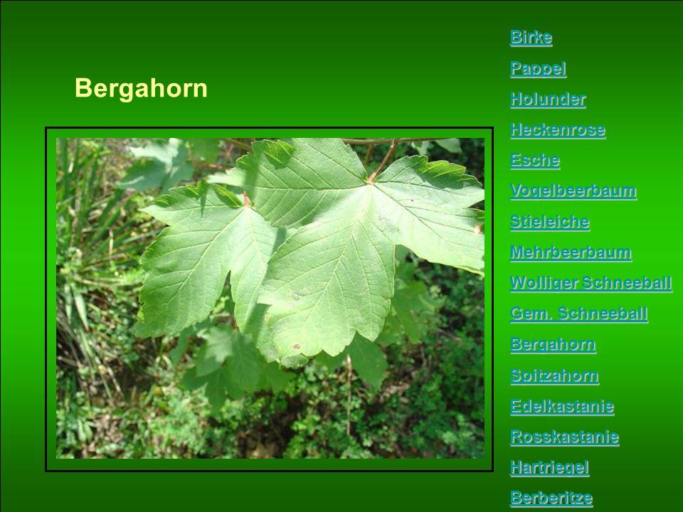 Bergahorn Birke Pappel Holunder Heckenrose Esche Vogelbeerbaum