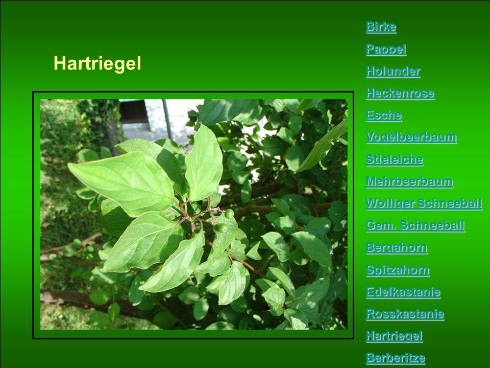 Hartriegel Birke Pappel Holunder Heckenrose Esche Vogelbeerbaum