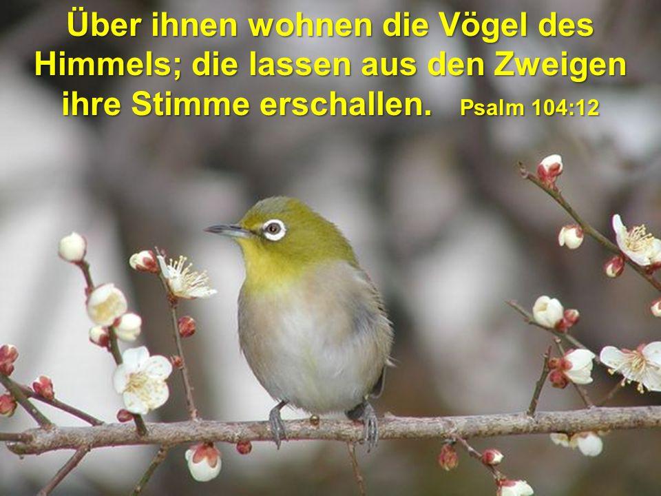 Über ihnen wohnen die Vögel des Himmels; die lassen aus den Zweigen ihre Stimme erschallen.