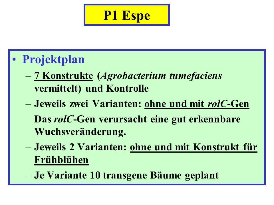 P1 Espe Projektplan. 7 Konstrukte (Agrobacterium tumefaciens vermittelt) und Kontrolle. Jeweils zwei Varianten: ohne und mit rolC-Gen.