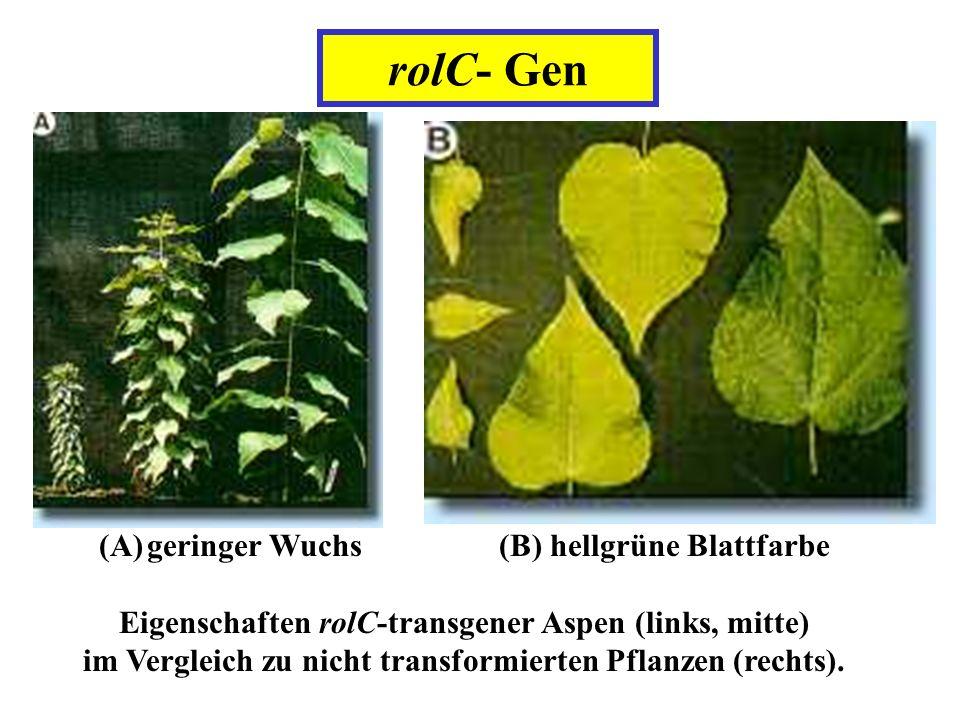 männliche sterilität bei pflanzen
