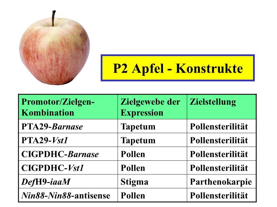 P2 Apfel - Konstrukte Promotor/Zielgen-Kombination