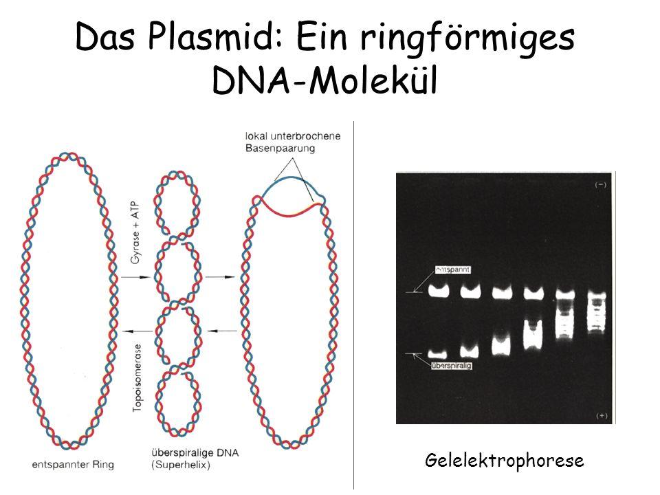 Das Plasmid: Ein ringförmiges DNA-Molekül