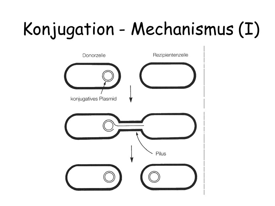 Konjugation - Mechanismus (I)