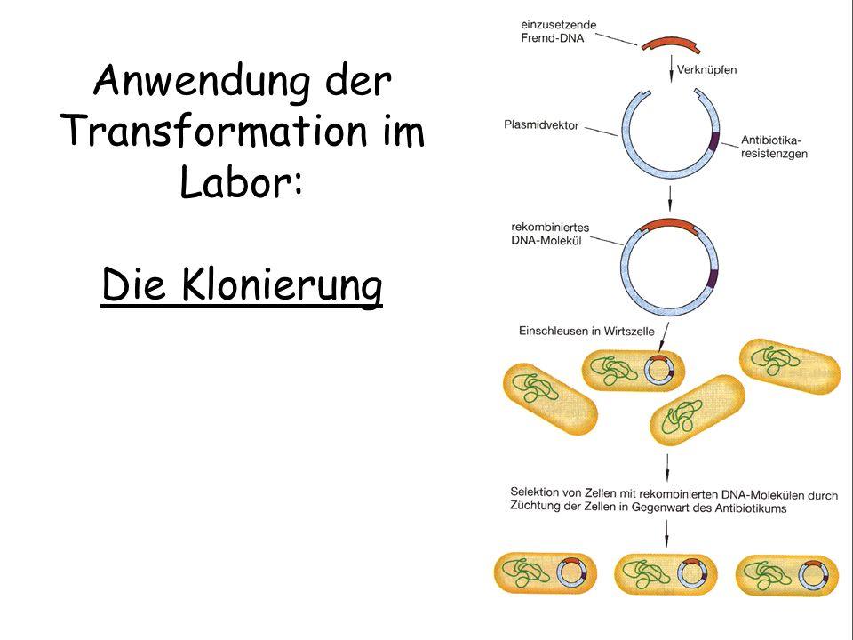 Anwendung der Transformation im Labor: Die Klonierung
