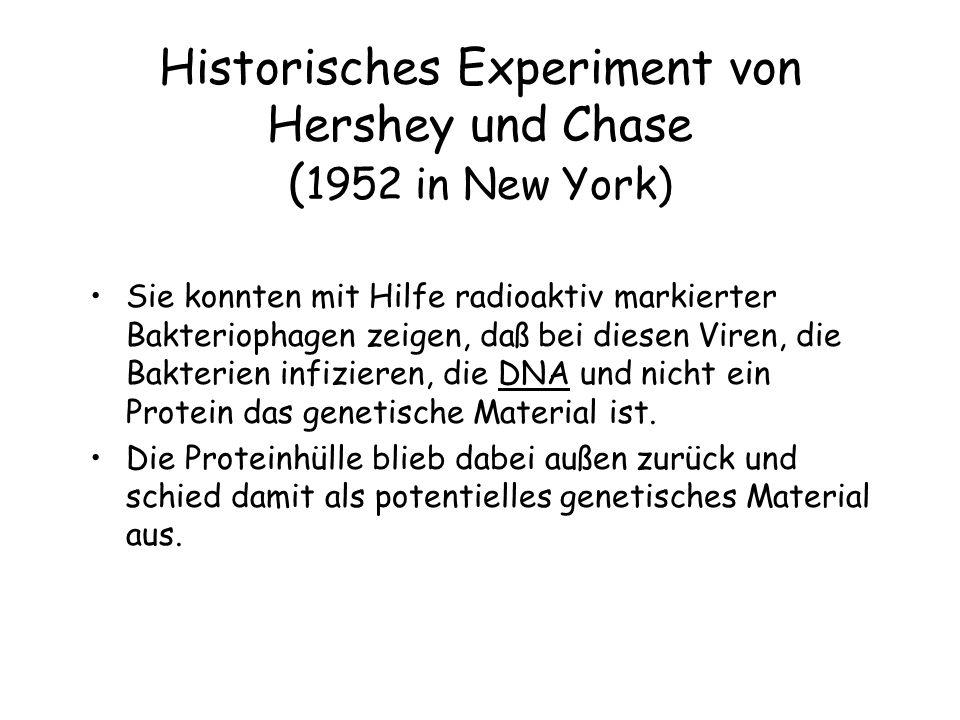 Historisches Experiment von Hershey und Chase (1952 in New York)