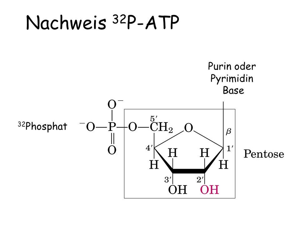 Nachweis 32P-ATP Purin oder Pyrimidin Base 32Phosphat
