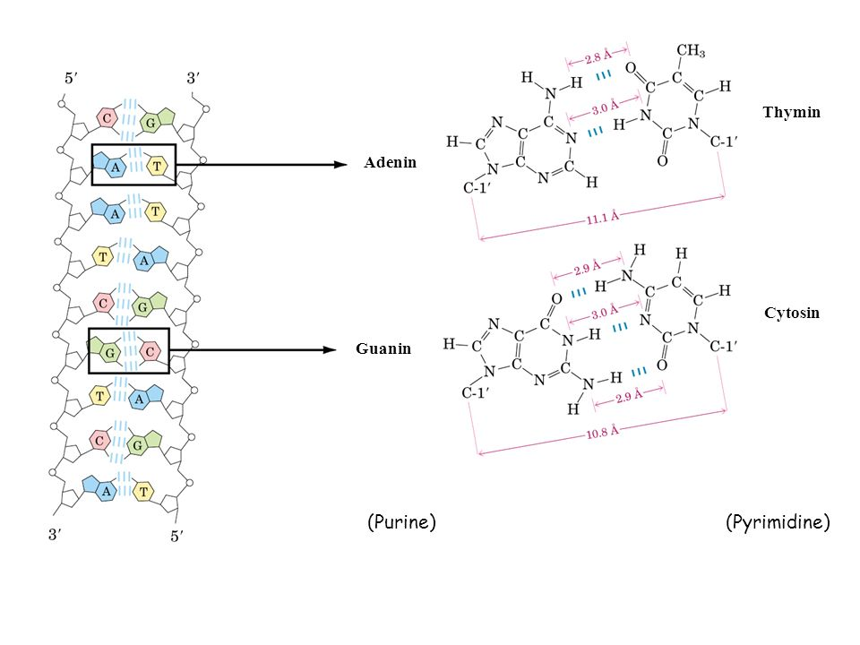 Thymin Adenin Cytosin Guanin (Purine) (Pyrimidine)