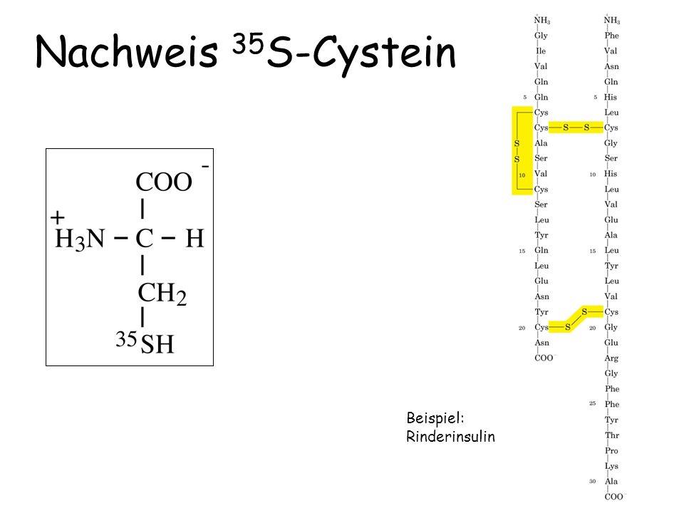 Nachweis 35S-Cystein Beispiel: Rinderinsulin