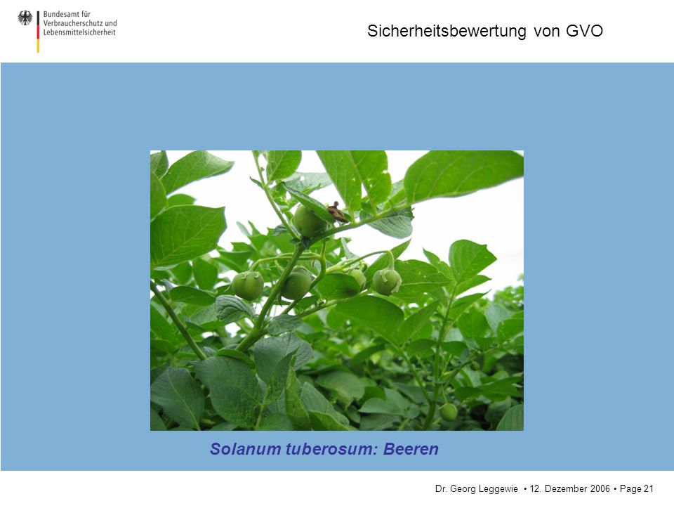 Solanum tuberosum: Beeren