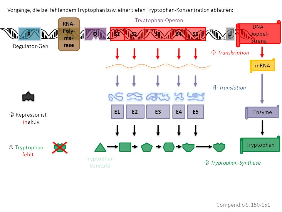  Tryptophan-Synthese