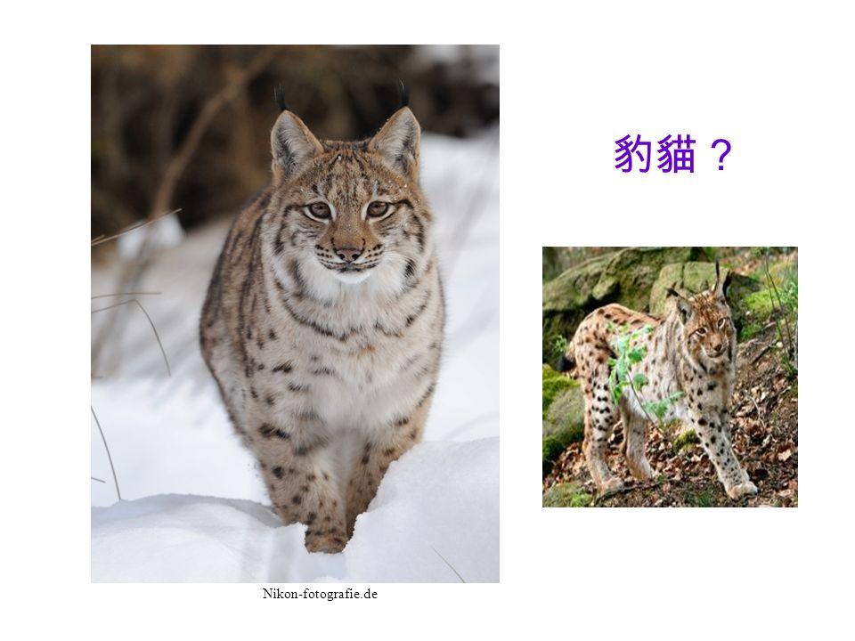 豹貓 Nikon-fotografie.de
