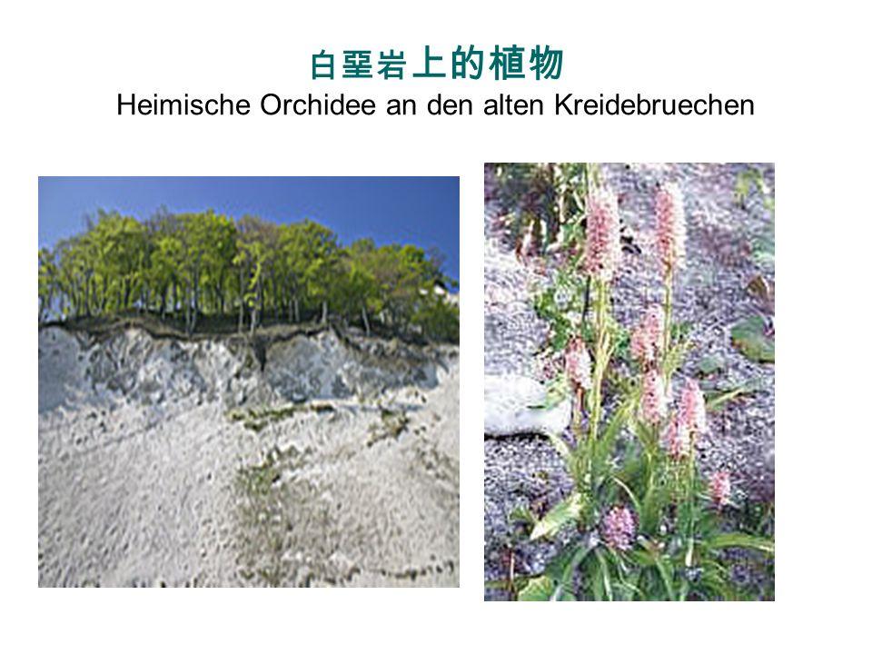 白堊岩上的植物 Heimische Orchidee an den alten Kreidebruechen