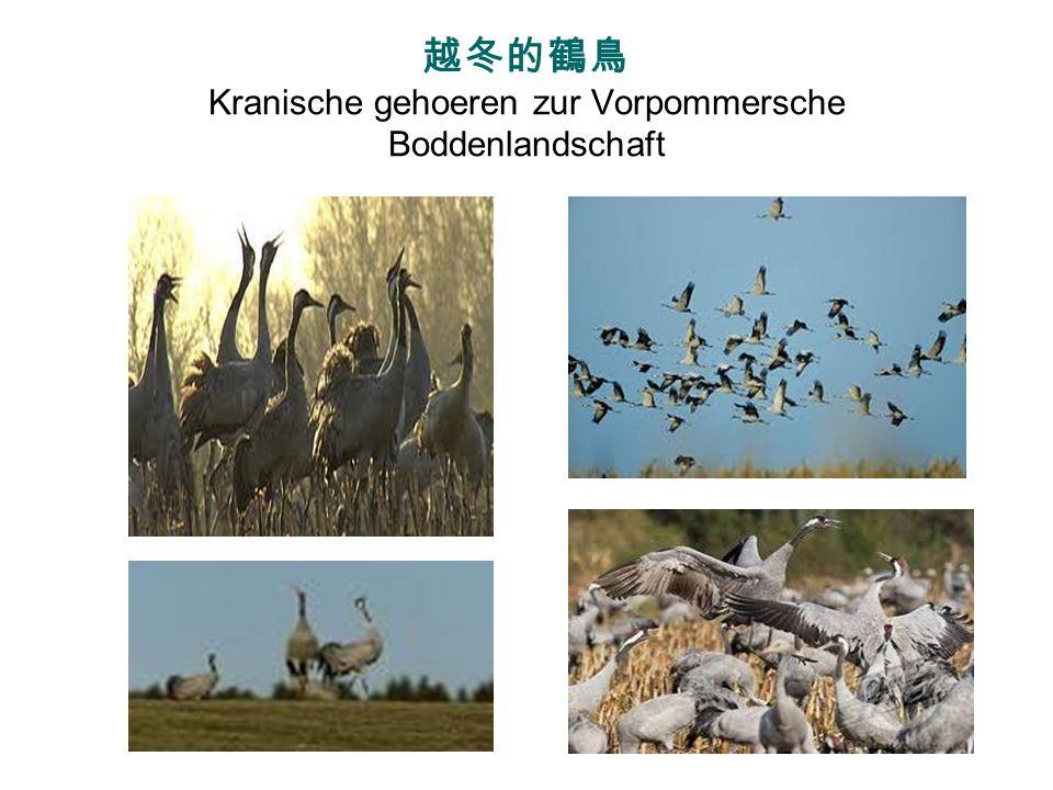 越冬的鶴鳥 Kranische gehoeren zur Vorpommersche Boddenlandschaft