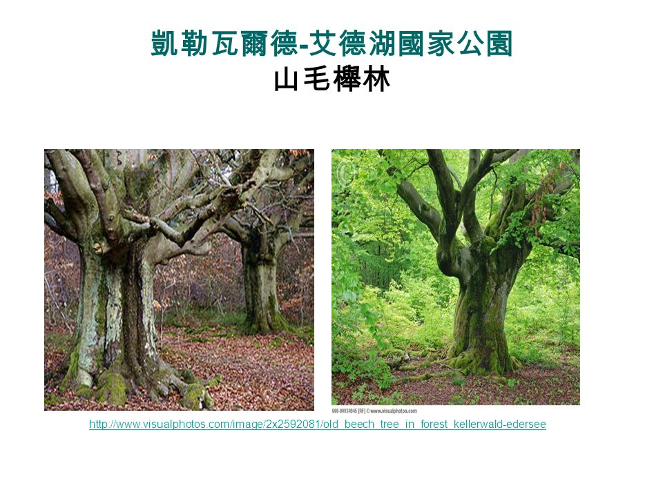 凱勒瓦爾德-艾德湖國家公園 山毛櫸林 http://www.visualphotos.com/image/2x2592081/old_beech_tree_in_forest_kellerwald-edersee.