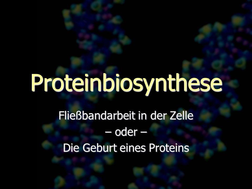 Fließbandarbeit in der Zelle – oder – Die Geburt eines Proteins