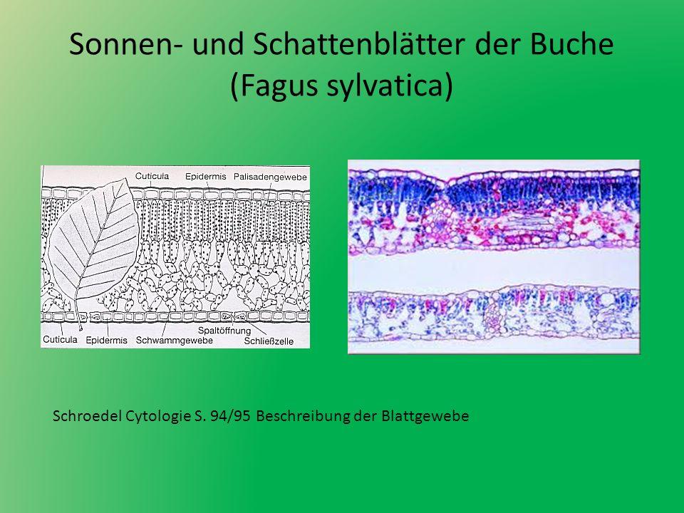 Sonnen- und Schattenblätter der Buche (Fagus sylvatica)
