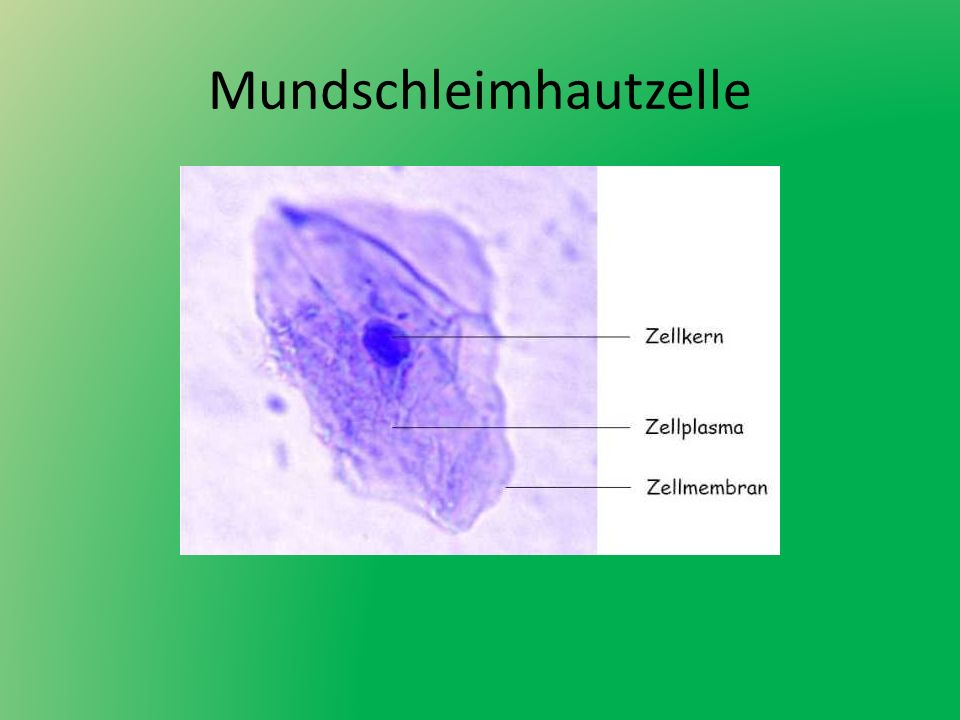 Mundschleimhautzelle