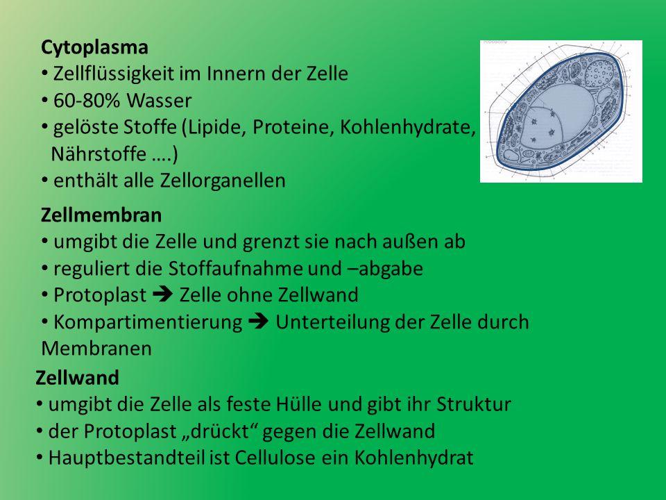 Cytoplasma Zellflüssigkeit im Innern der Zelle. 60-80% Wasser. gelöste Stoffe (Lipide, Proteine, Kohlenhydrate,