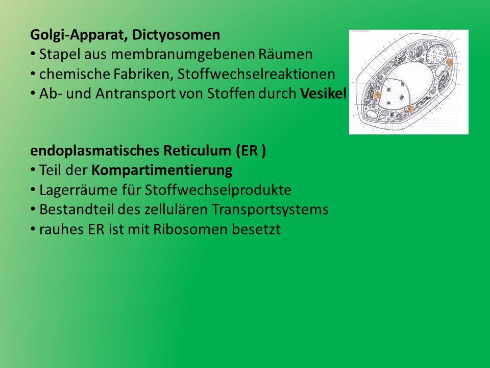 Golgi-Apparat, Dictyosomen