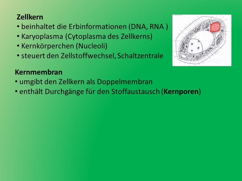 Zellkern beinhaltet die Erbinformationen (DNA, RNA ) Karyoplasma (Cytoplasma des Zellkerns) Kernkörperchen (Nucleoli)