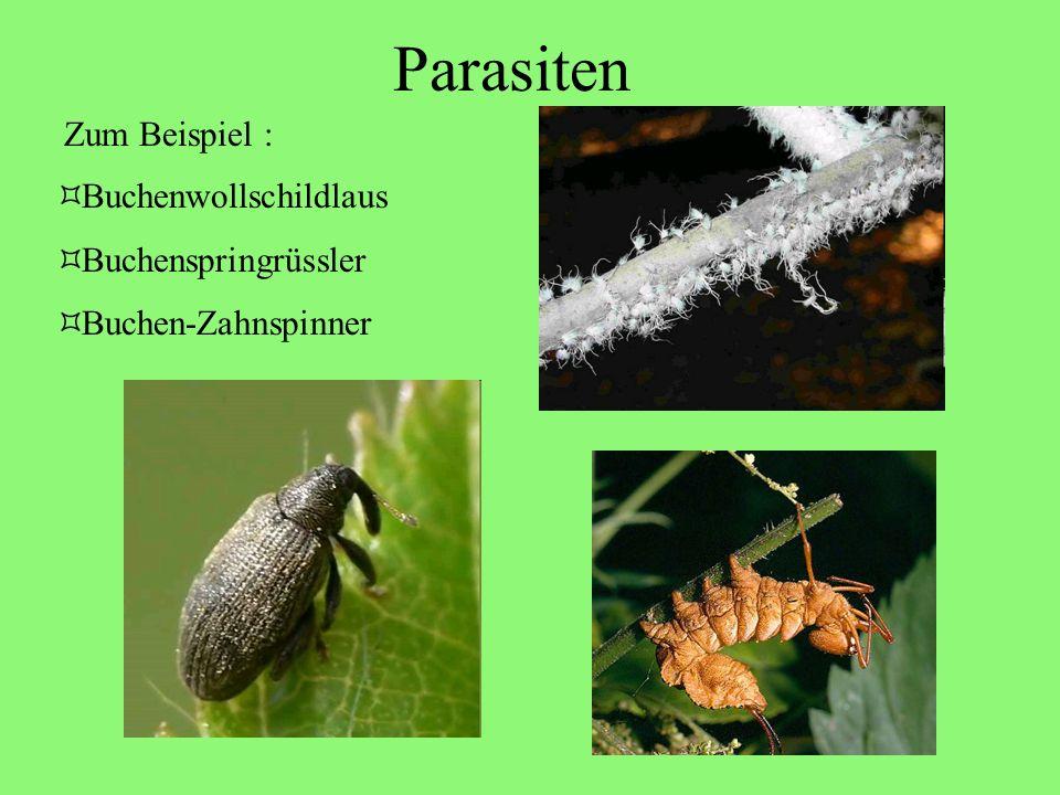 Parasiten Zum Beispiel : Buchenwollschildlaus Buchenspringrüssler