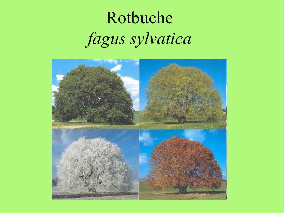 Rotbuche fagus sylvatica