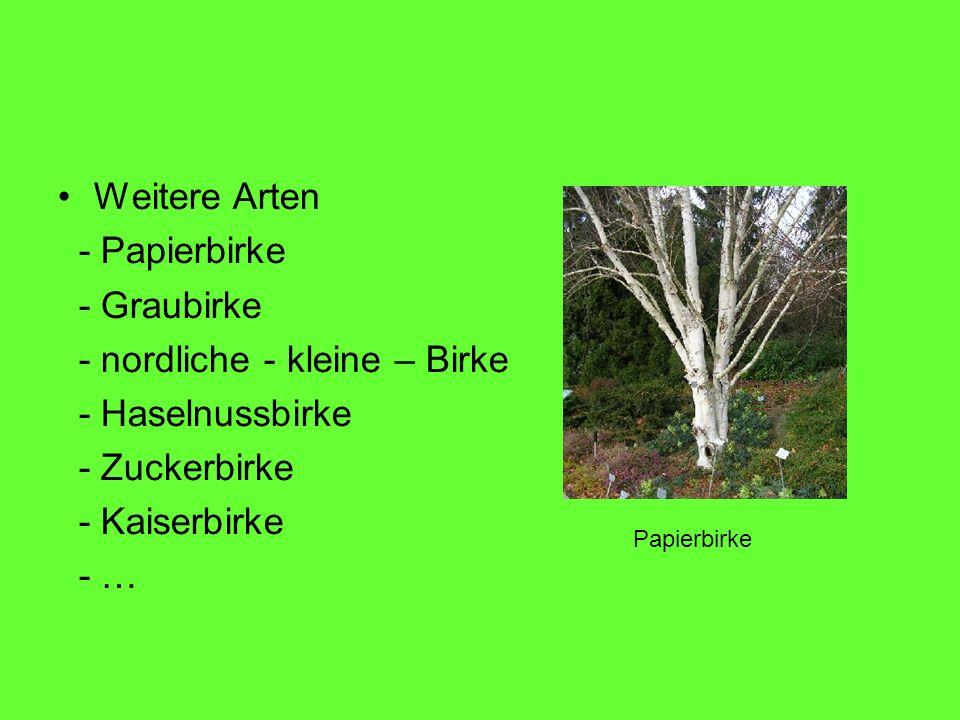 - nordliche - kleine – Birke - Haselnussbirke - Zuckerbirke