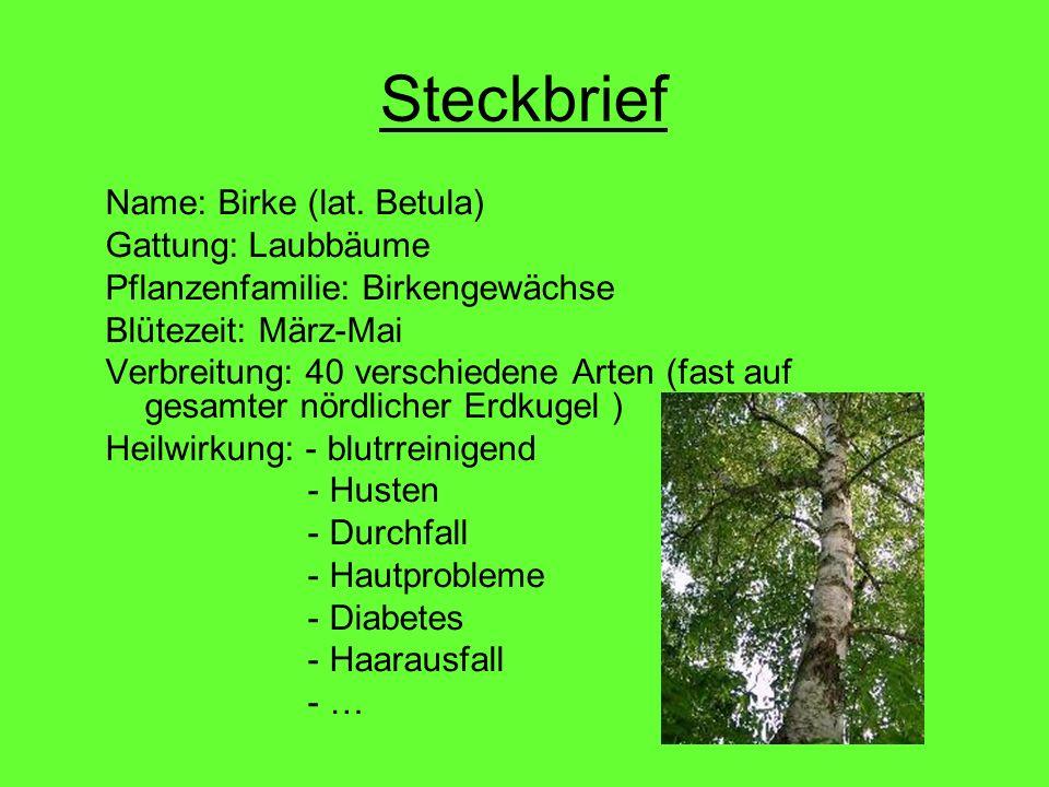 Steckbrief Name: Birke (lat. Betula) Gattung: Laubbäume