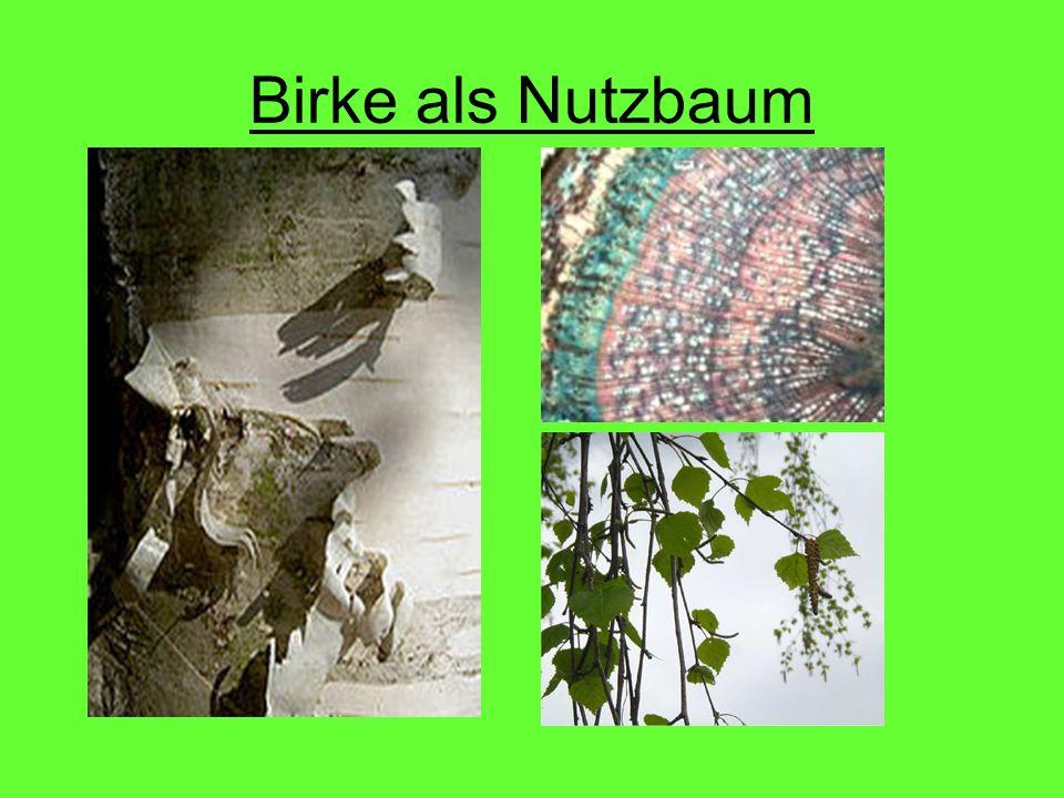 Birke als Nutzbaum