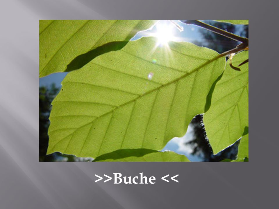 >>Buche <<
