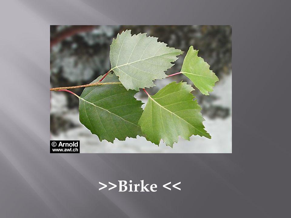>>Birke <<