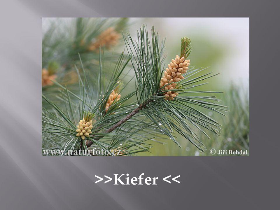 >>Kiefer <<