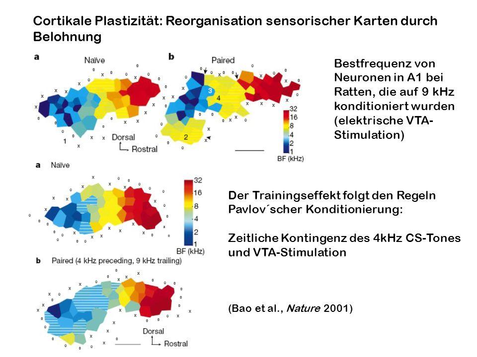 Cortikale Plastizität: Reorganisation sensorischer Karten durch