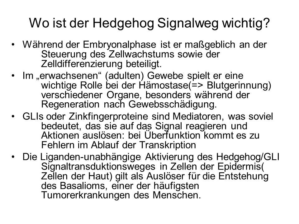 Wo ist der Hedgehog Signalweg wichtig