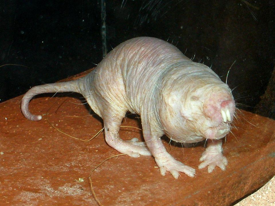 Rodentia: Nackt : Parasitenlos faltig