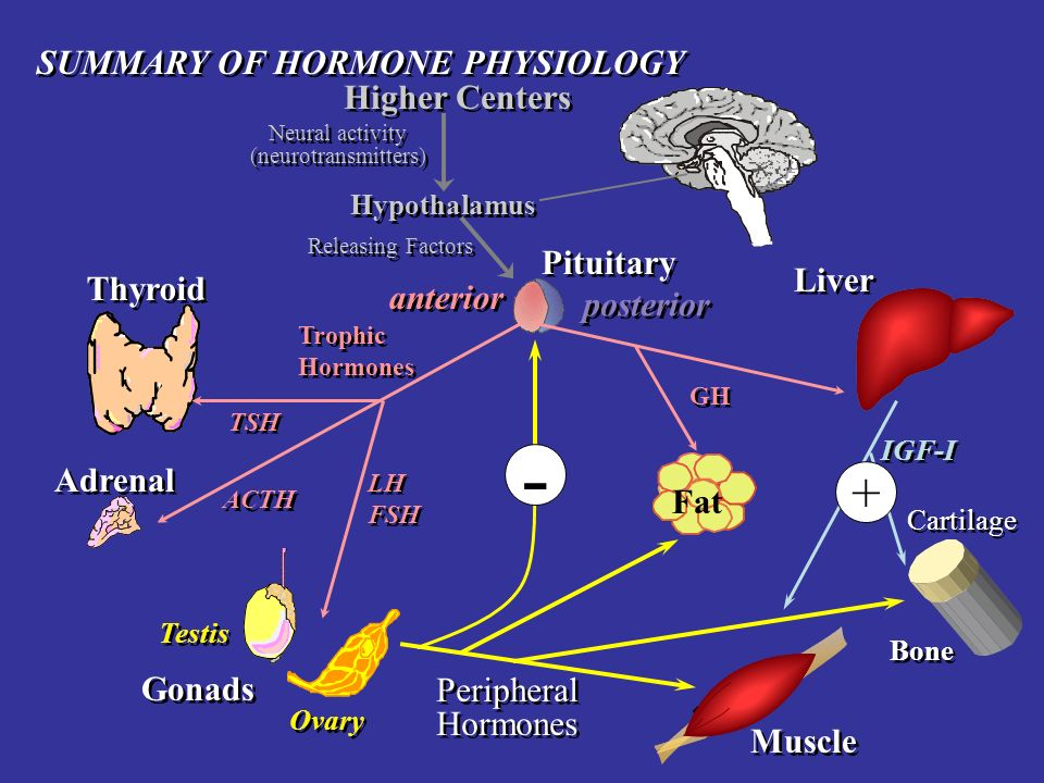 - + SUMMARY OF HORMONE PHYSIOLOGY Higher Centers Pituitary Liver