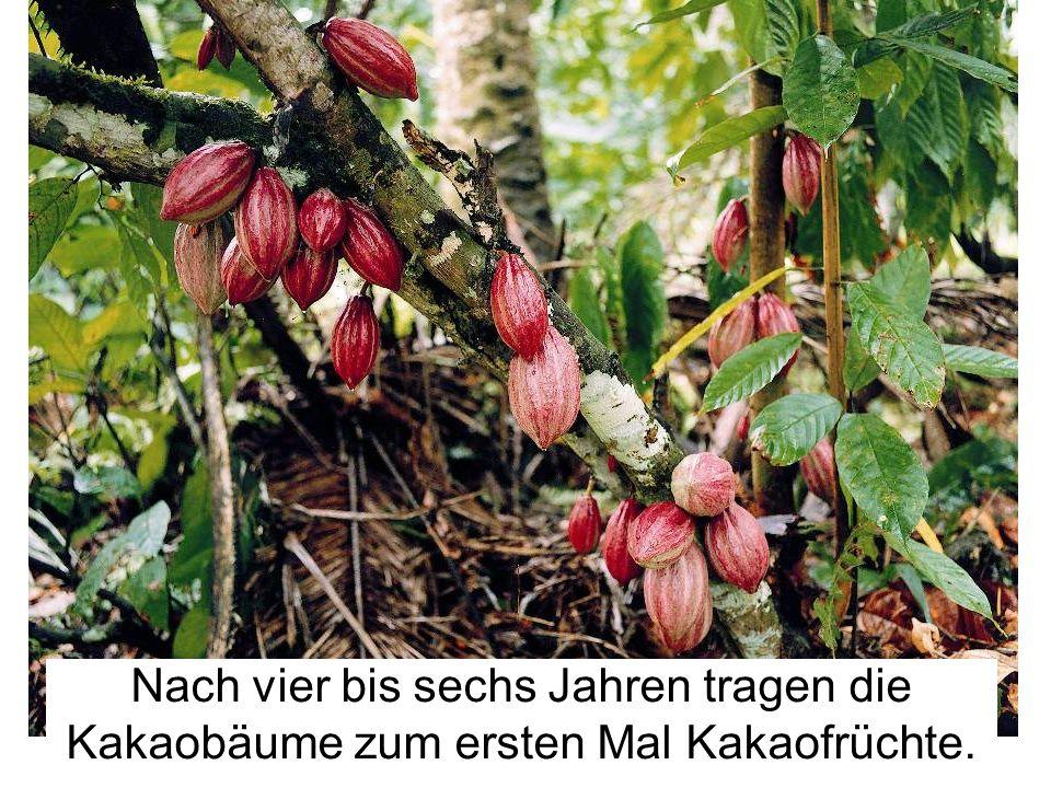 Rote Früchte .infozentrum-schoko.de. Nach vier bis sechs Jahren tragen die Kakaobäume zum ersten Mal Kakaofrüchte.