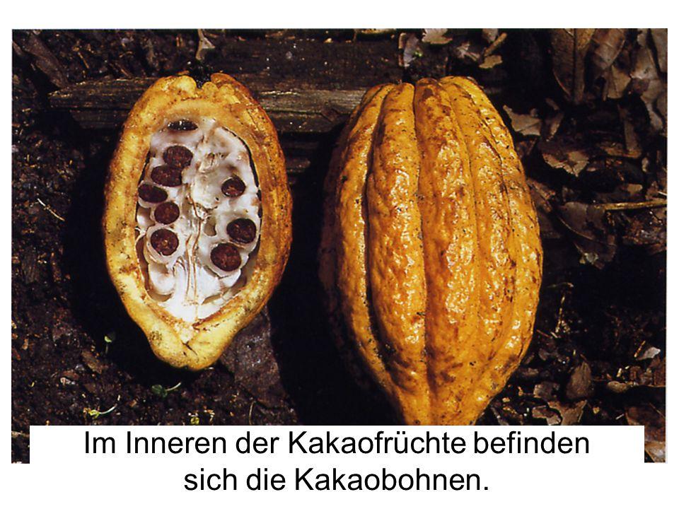 Im Inneren der Kakaofrüchte befinden sich die Kakaobohnen.