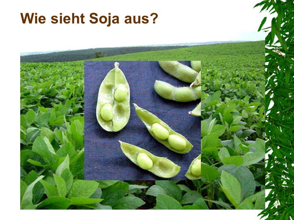 Wie sieht Soja aus - Die EU-15 verbrauchte 25% des gesamten weltweit erzeugten Sojaeiweißes.