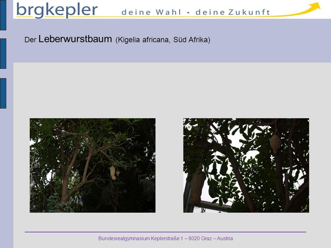 Der Leberwurstbaum (Kigelia africana, Süd Afrika)
