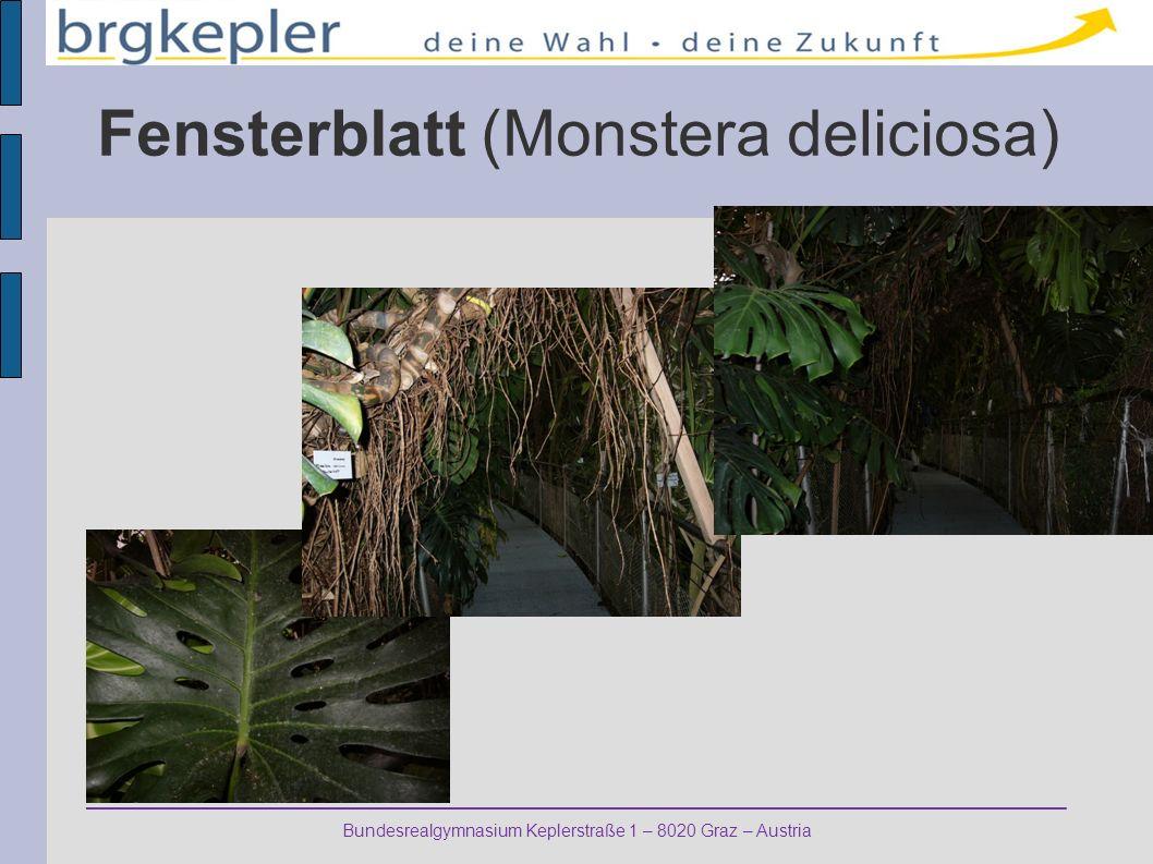Fensterblatt (Monstera deliciosa)