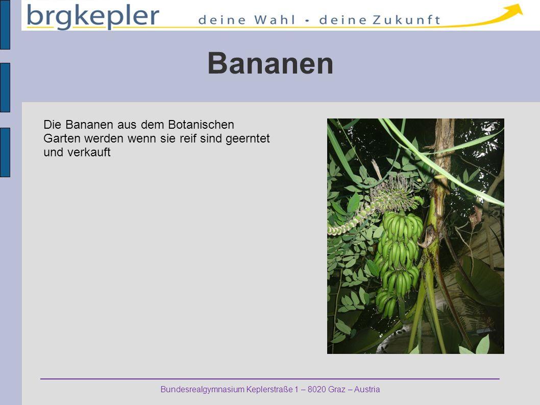 Bananen Die Bananen aus dem Botanischen Garten werden wenn sie reif sind geerntet und verkauft