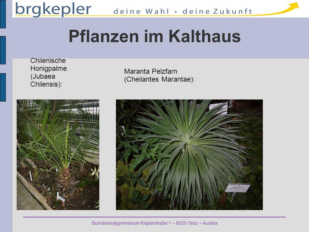 Pflanzen im Kalthaus Chilenische Honigpalme (Jubaea Chilensis):