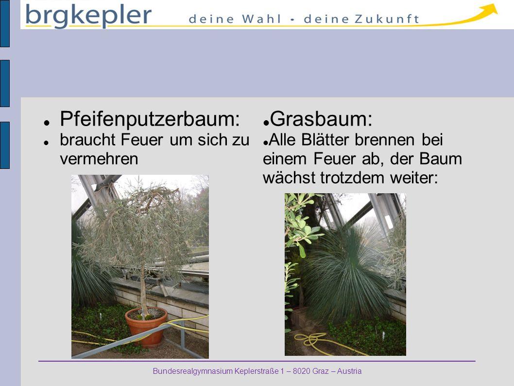 Pfeifenputzerbaum: Grasbaum: braucht Feuer um sich zu vermehren