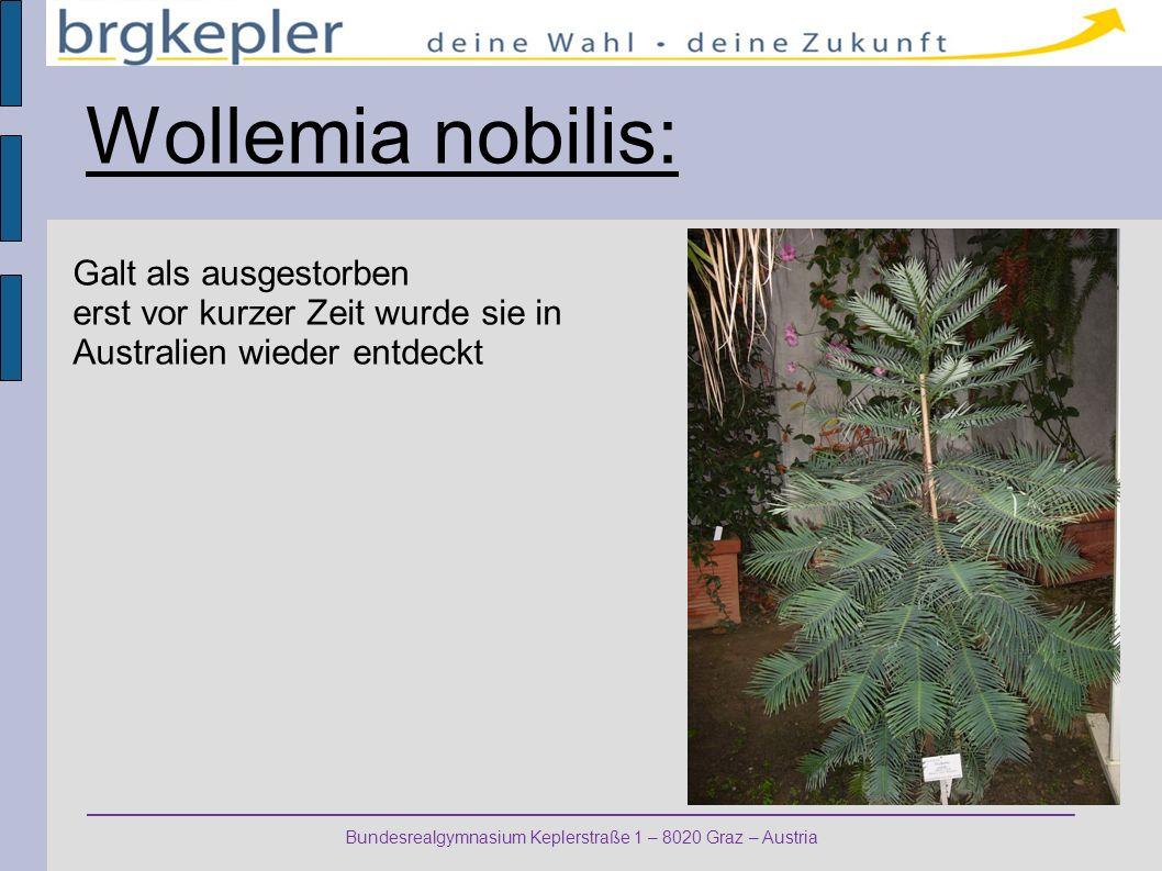 Wollemia nobilis: Galt als ausgestorben