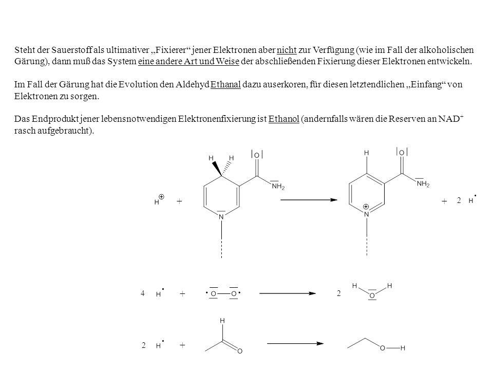 """Steht der Sauerstoff als ultimativer """"Fixierer jener Elektronen aber nicht zur Verfügung (wie im Fall der alkoholischen Gärung), dann muß das System eine andere Art und Weise der abschließenden Fixierung dieser Elektronen entwickeln."""