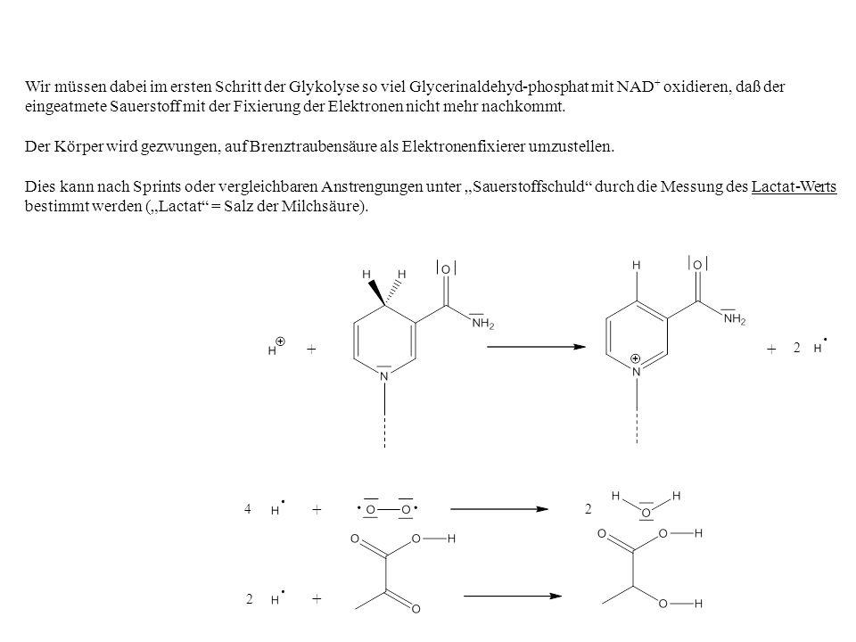 Wir müssen dabei im ersten Schritt der Glykolyse so viel Glycerinaldehyd-phosphat mit NAD+ oxidieren, daß der eingeatmete Sauerstoff mit der Fixierung der Elektronen nicht mehr nachkommt.