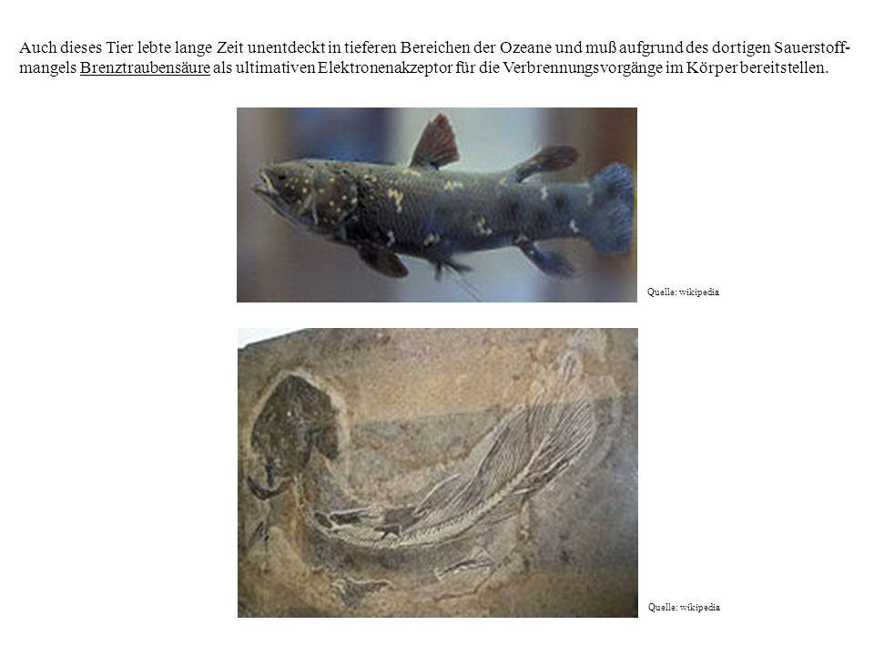 Auch dieses Tier lebte lange Zeit unentdeckt in tieferen Bereichen der Ozeane und muß aufgrund des dortigen Sauerstoff-mangels Brenztraubensäure als ultimativen Elektronenakzeptor für die Verbrennungsvorgänge im Körper bereitstellen.