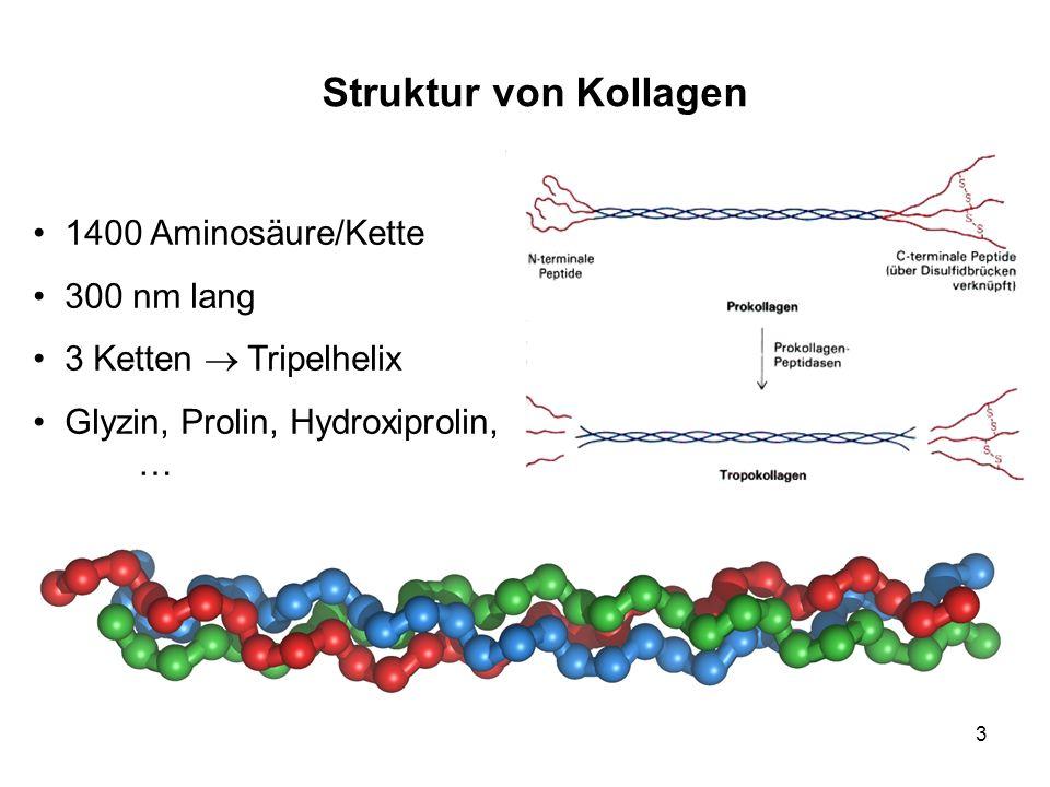 Struktur von Kollagen 1400 Aminosäure/Kette 300 nm lang